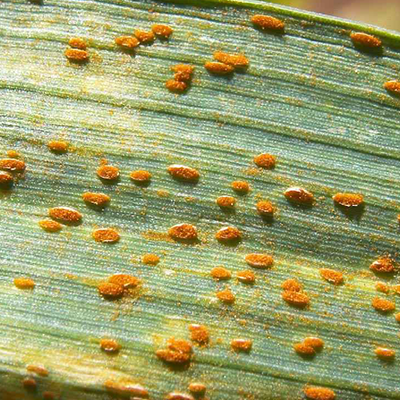 Crop Diseases image